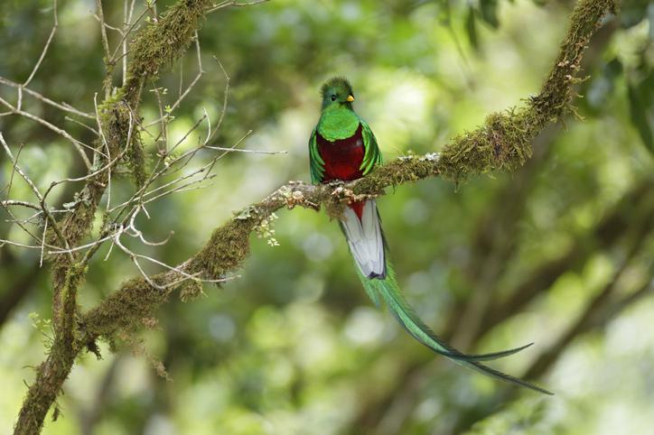 Quetzal bosque húmedo