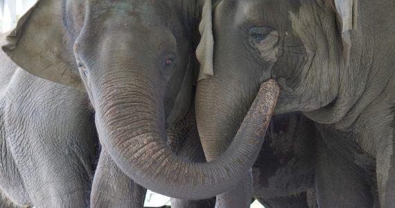 elefantes de circo conservación