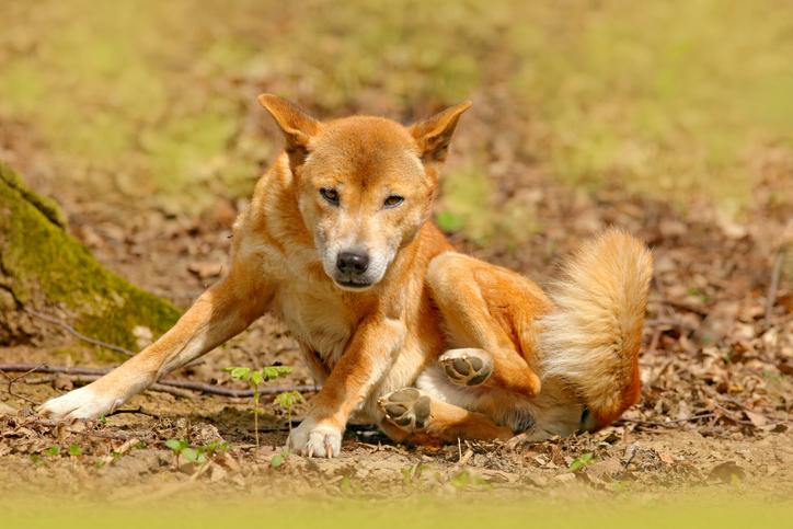 perros cantores de Nueva Guinea