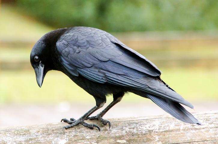 cuervos conciencia
