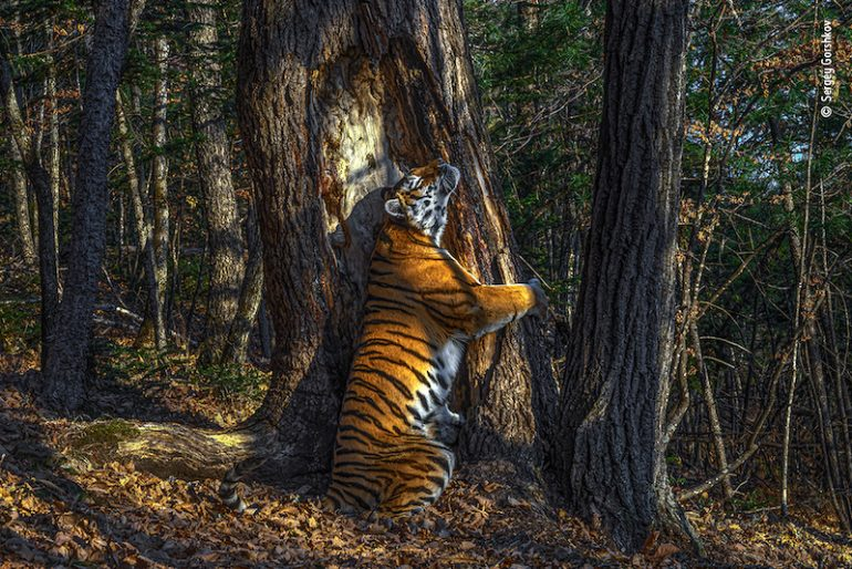 el abrazo tigre siberiano