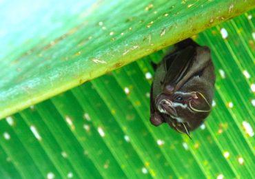 murciélagos vampiro distanciamiento social