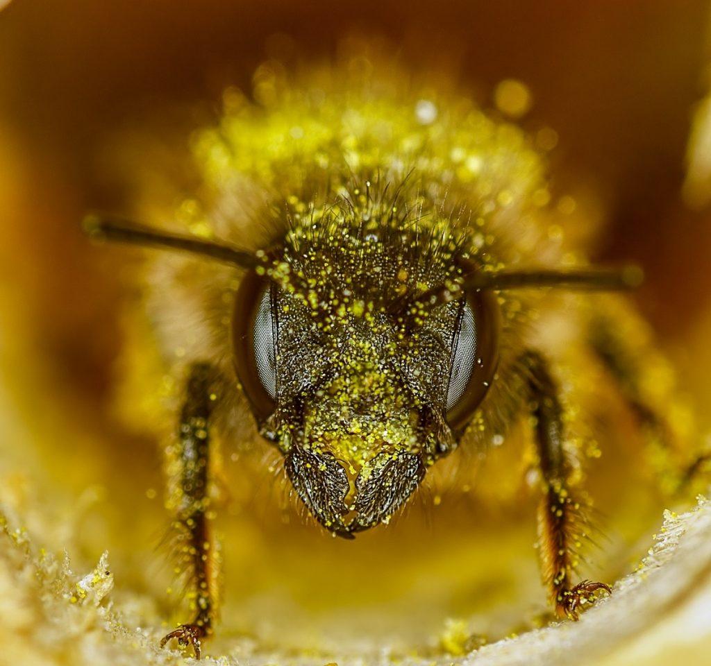 Abejas curiosidades y datos sorprendentes polen