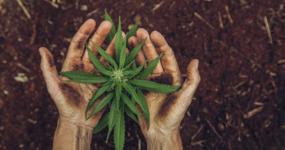 Marihuana cannabis Senado drogas legalizacion mexico manos plantas tierra