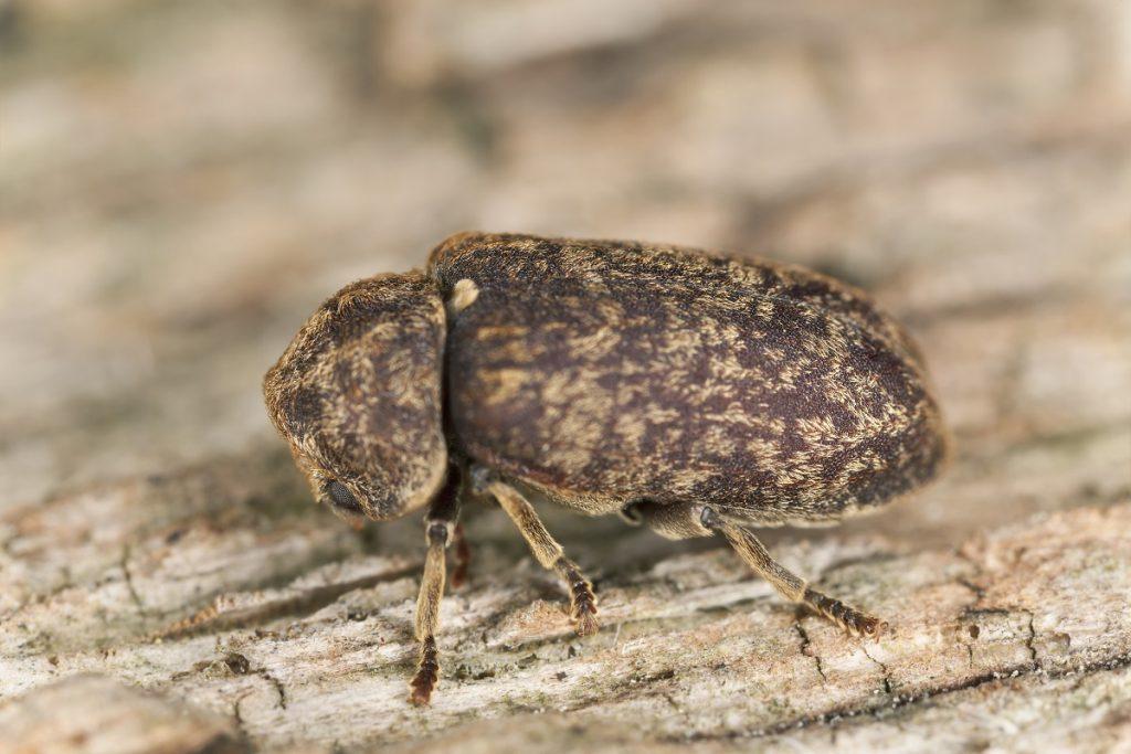 escarabajo de la muerte caminando en arbol