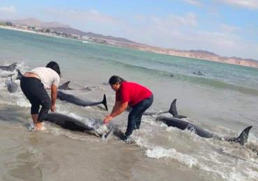 delfines encallados Sonora México