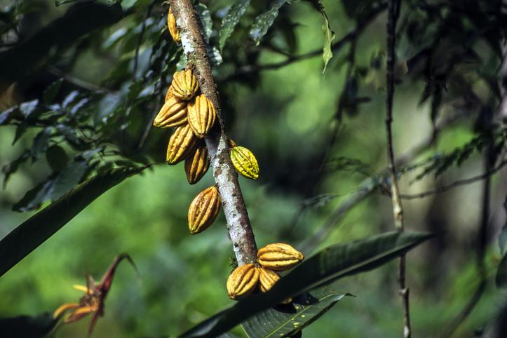 cacao tipo de cambio universal