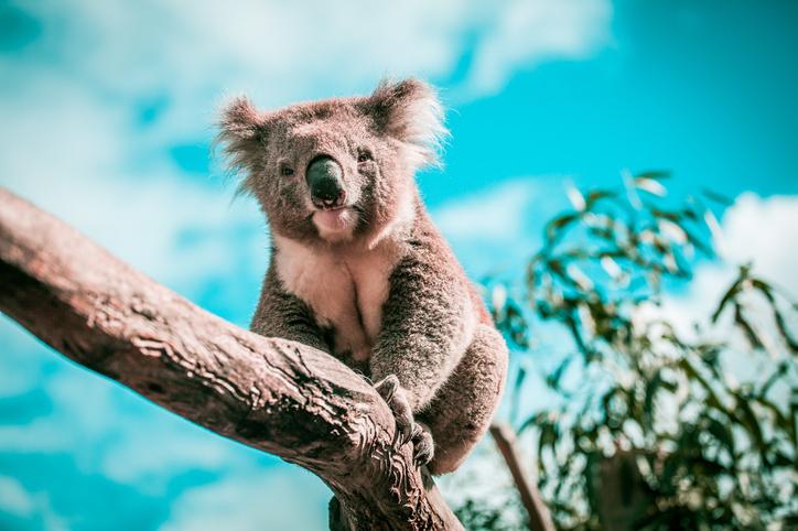familia australiana encuentra koala en su árbol de navidad