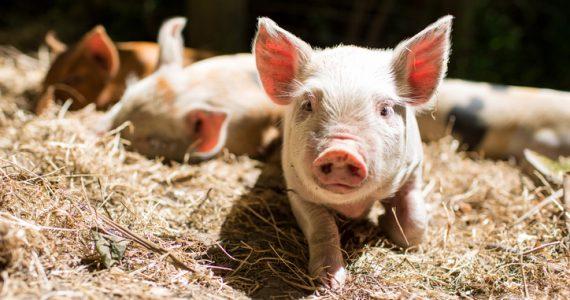 cerdos genéticamente modificados
