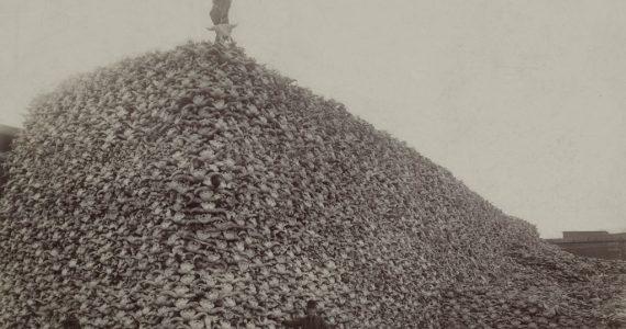 bisontes foto