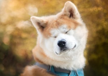 perros de japón