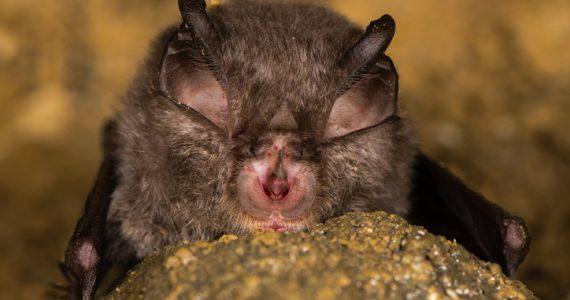murciélago nuevo coronavirus