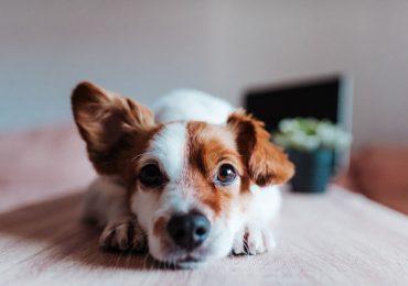 inteligente perro