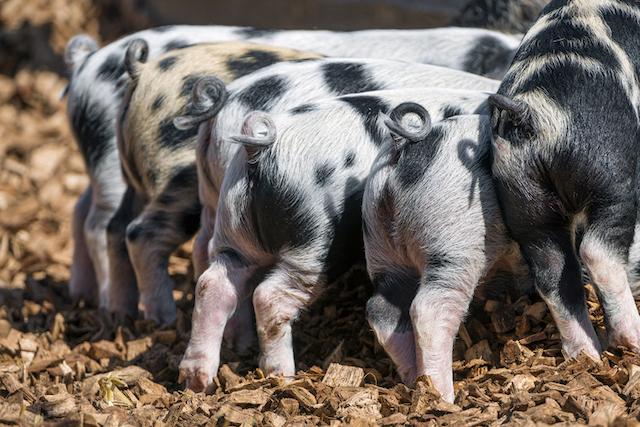 cerdos respirar por el ano