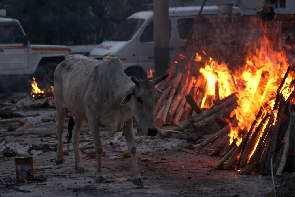 estiércol de vaca
