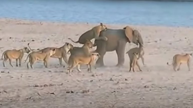 La batalla de un elefante bebé contra 14 leonas