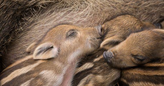 cerdos híbridos