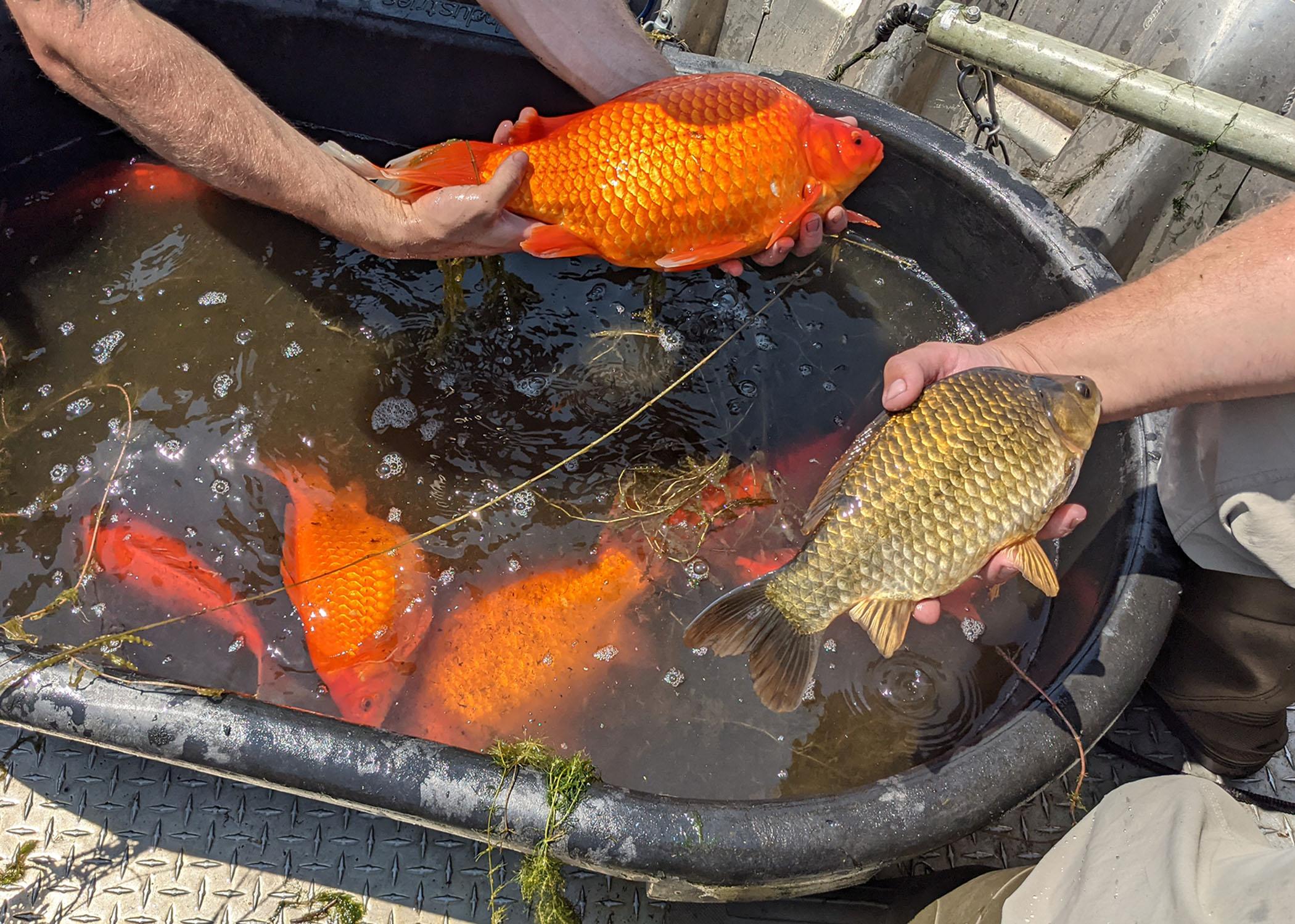 liberar peces