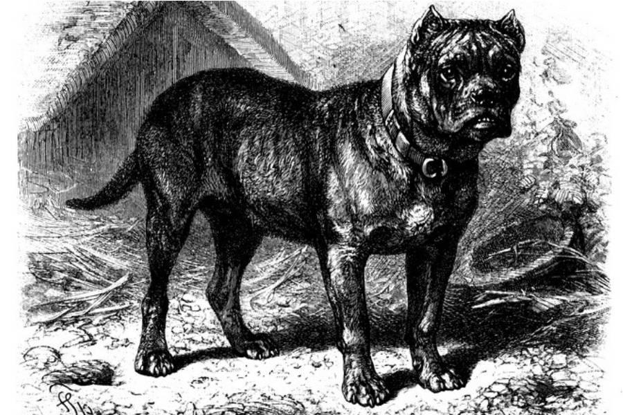 Raza de perro bullenbeisser