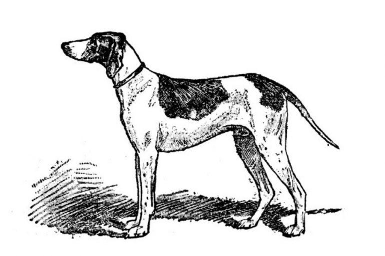 Braco de puy, perro extinto
