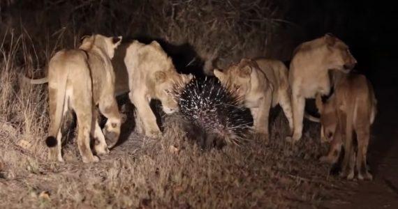 Video: Un puercoespín se enfrenta a 17 leones
