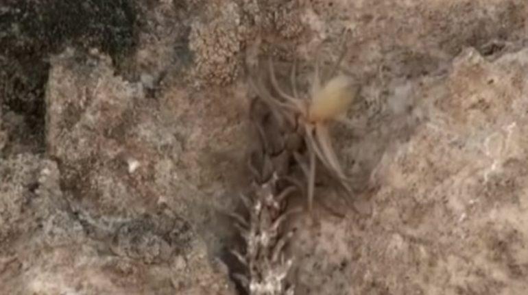 Capturan a serpiente cola de araña en video